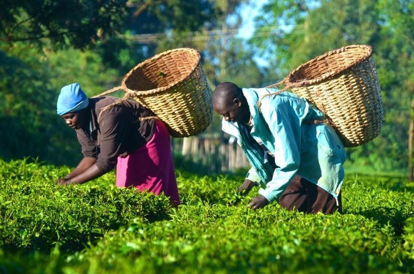 Productie en soorten thee